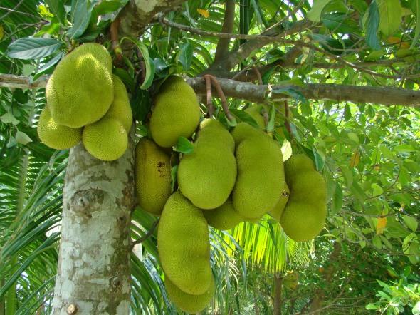 Jackfruit_Bangladesh_(3)